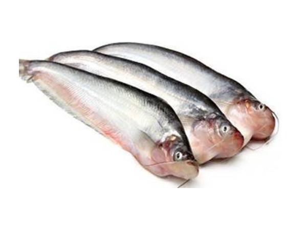 Fresh water Pabda fish